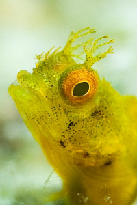 Golden phase Rough Head Blenny.  60mm lens with +5 diopte... by Paul Colley 